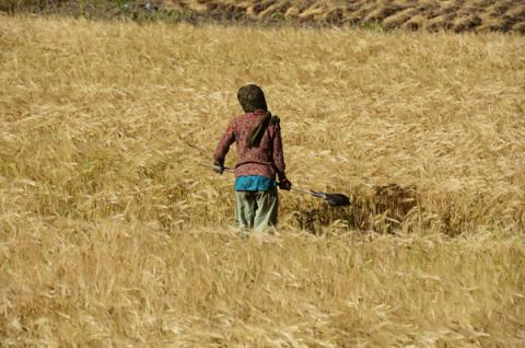 India, Ladakh, Markha Valley, women working in barley and wheat fields in the Hi, Anthony Asael, India copy