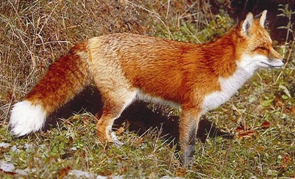 Red Fox under Khyber Pakhtunkhwa wildlife protection in Deosai National Park located in Abbotabbad