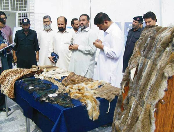 Under the supervision of chief conservator Khyber Pakhtunkhwa, a team of wildlife force recovered skins of the protected animals from local markets.​