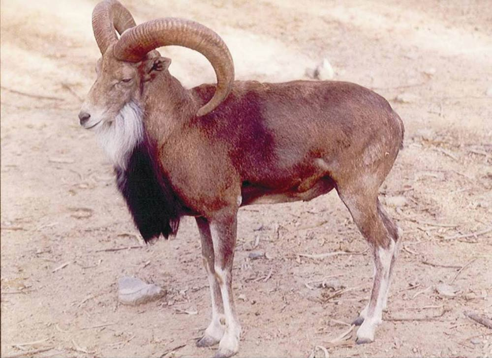 Urial, under the conservation threat of habitat loss, an uncommon species found in different game reserve of Khyber Pakhtunkhwa