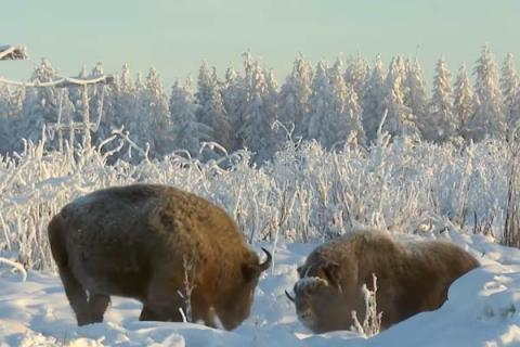 Bringing yaks and bison to Pleistocene Park in the Russian Arctic